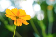 Cosmos flower in late summer