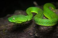 Bright, green, vogel, s, pit, viper, venomou