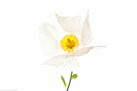 Matilija the white poppy