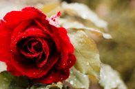 Rose 5k 4k Wallpaper Red Spring Flower