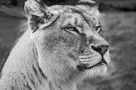 Blue eyed Lion Monochrome 5K Wallpaper