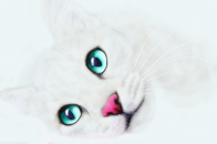 White cat background