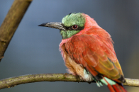 A, perched, bee, eater