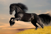 Black, horse