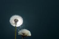 Dandelions close up