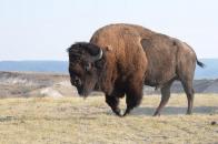 Wild Bison New Dangerous animal