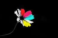 Colorful petals cosmos