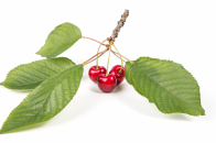 Red cherries green leaves spring fruits wall