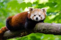Red, panda