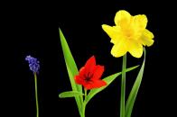 Spring flowers daffodil tulip muscari