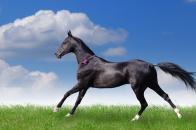 Akhal, teke, horse