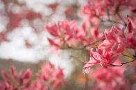 Azaleas bloom in spring
