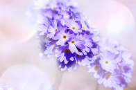 Light purple primrose flowers