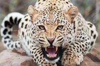 Amazing Cheetah