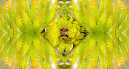 Succulent symmetry art