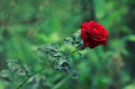Green garden red rose summer