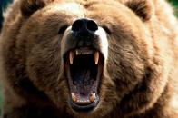 Grizzly Bear Desktop wallpaper