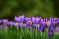 Crocuses croci flowers meadow spring