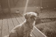 My beautiful shitzu Tilly, National Pet Day 2021