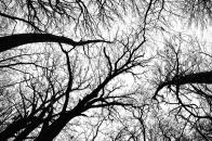 Pecan, grove, black, and, white