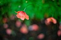 Poppies bokeh