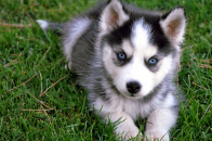 Cute, husky, puppy