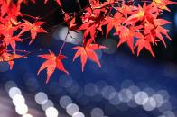 Japanese maple leaves bokeh