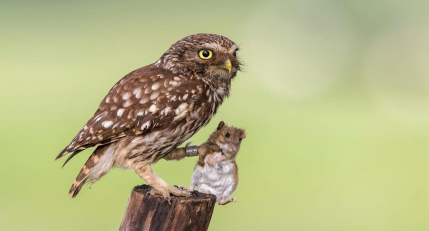 Owl Hunting Mouse 8k Background Wallpaper
