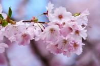 Japanese cherry blossom close up