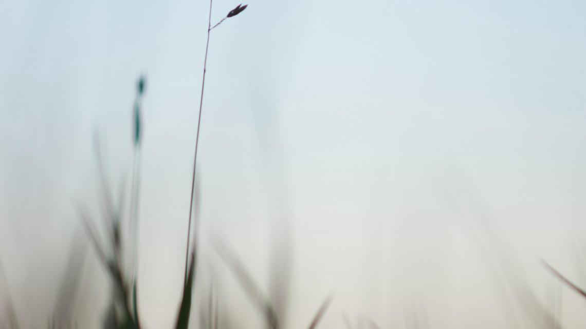Ear grass evening 3840x2160