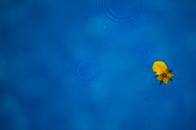 Yellow flower blue water raining