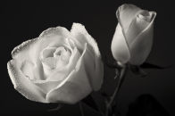 White roses black background