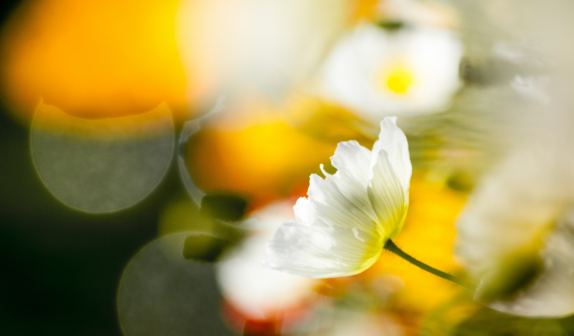 White poppy flowers bokeh