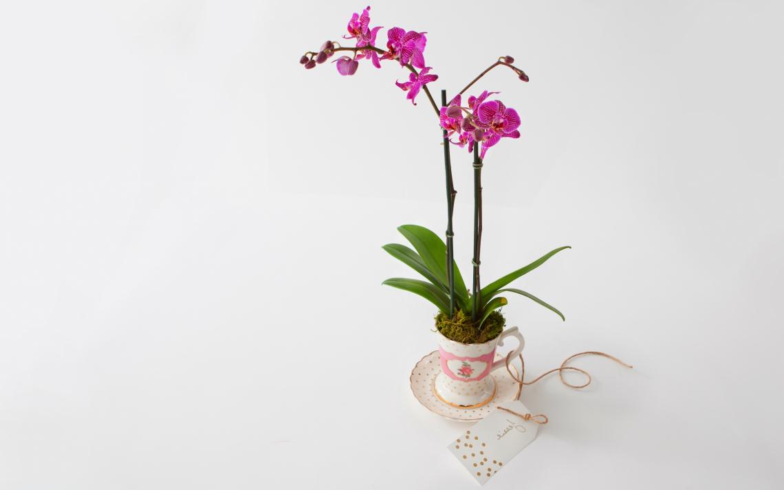 Phalaenopsis orchid gift