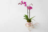 Phalaenopsis orchid gift