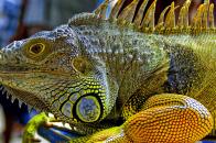 Iguana, in, malaysia