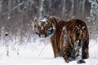 Snow Tiger 8k Wallpaper