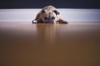 Saddest, pug, dog