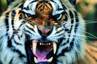 Tiger UHD 8k Wallpaper