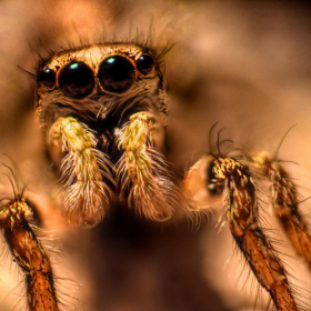 Spider Insect Wallpaper