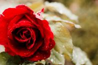 Rose 5k 4k Wallpaper Red Spring Flower