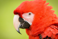 Red, parrot