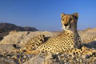 Seeing Cheetah