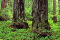 Redwood Trunks and Ferns, Prairie Creek Redwoods State Park, California