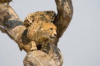 Cheetah sit on tree
