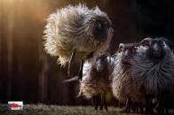 Sheep 8k Wallpaper