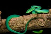 Green, oriental, whip, snake