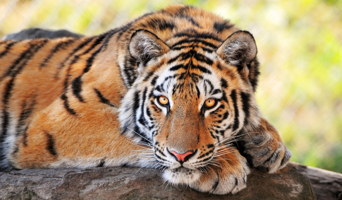 Beautiful, young, tiger