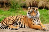 Tiger, sitting, majestic