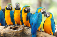 Blue And Yellow Macaw parrots